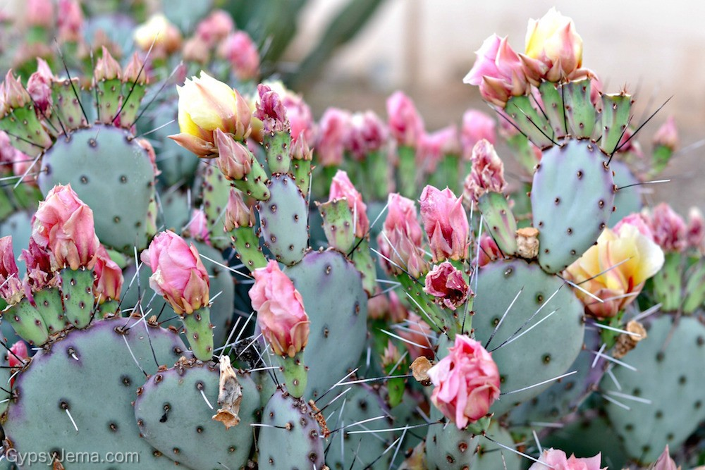 Cacti with pink blooms during spring in Arizona