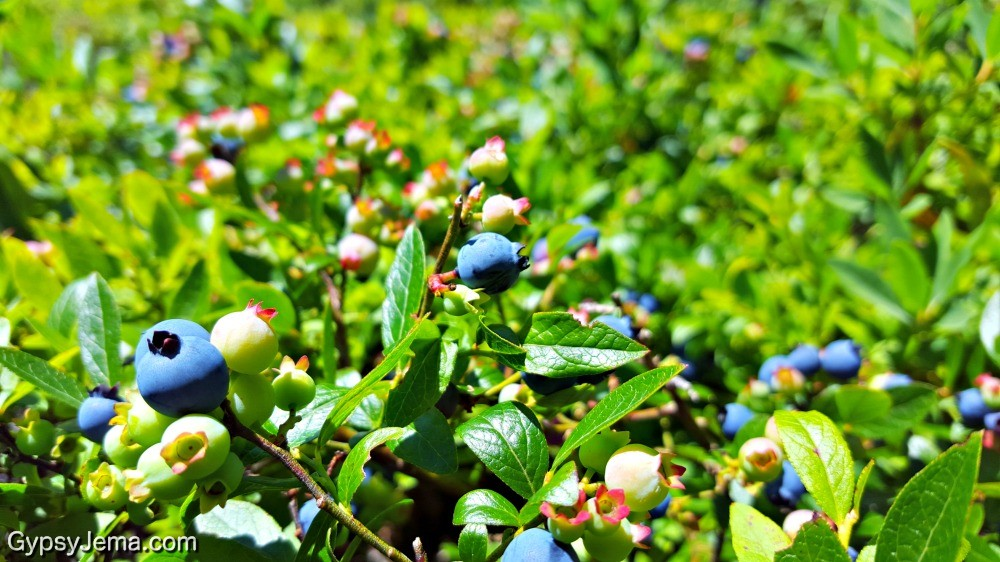 Wild blueberries we eat along the way while hiking Acadia National Park in Maine.